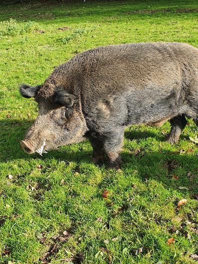 Einer der Wildschweine von Ballinwillin
